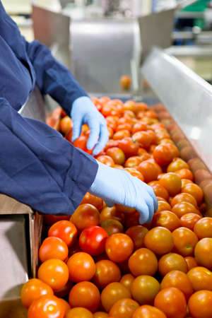 grower: Quality control worker sorting ripe red tomatoes on production line in food processing plant