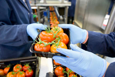 grower: Workers packing ripe red vine tomatoes on production line in food processing plant
