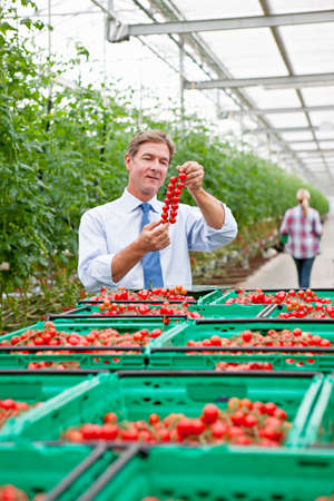 grower: Businessman inspecting ripe red vine tomatoes in greenhouse