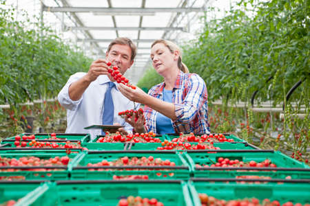 Businessman and grower inspecting ripe red vine tomatoes in greenhouse Stock Photo