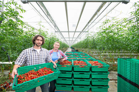growers: Portrait confident growers carrying crates of ripe red vine tomatoes in greenhouse