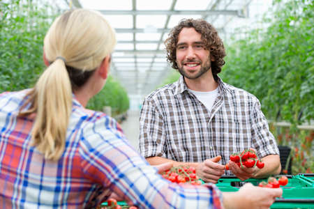 Growers talking and inspecting ripe red vine tomatoes in greenhouse Stock Photo