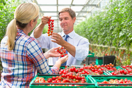 growers: Growers inspecting ripe red vine tomatoes in crates in greenhouse
