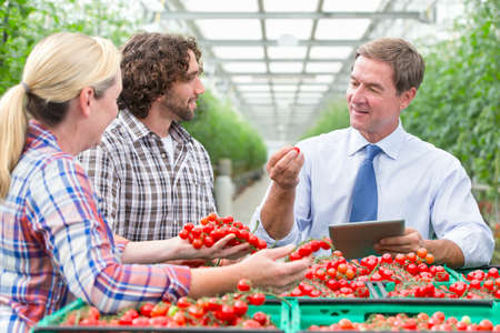 growers: Businessman with digital tablet and growers inspecting ripe red vine tomatoes in greenhouse
