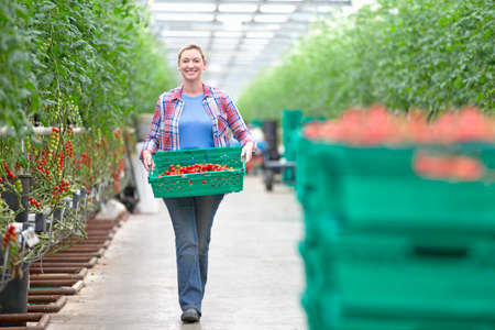 grower: Portrait of smiling grower carrying crate of ripe tomatoes in greenhouse