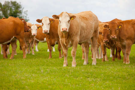 Portrait of herd of cows in rural field Stock Photo