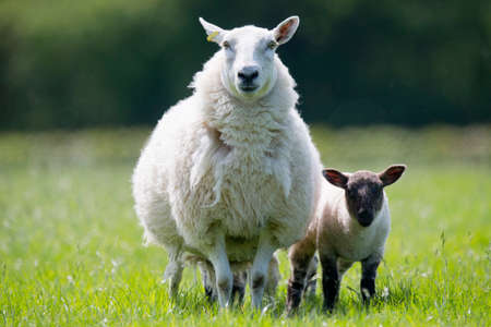 Portrait of sheep and lamb in sunny green spring grass