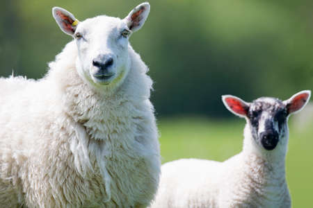Close up portrait of sheep and lamb