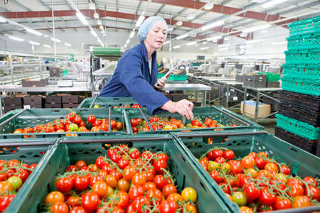 grower: Quality control worker inspecting ripe vine tomatoes in bins in food processing plant