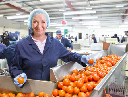 grower: Portrait confident quality control worker sorting ripe red tomatoes on production line in food processing plant