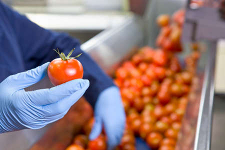 Close up worker holding ripe red tomato at production line in food processing plant Stock fotó