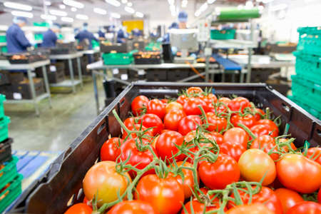 incidental people: Ripe red vine tomatoes in bin at food processing plant
