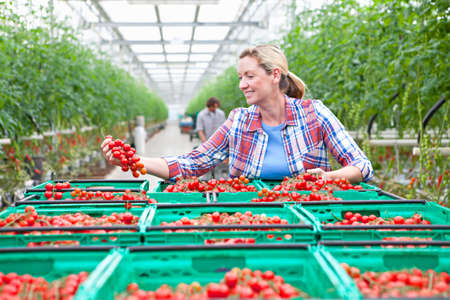 grower: Smiling grower inspecting ripe red vine tomatoes in greenhouse