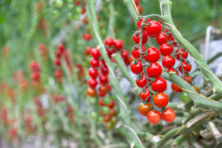 tomate cherry: Cierre de tomates rojos maduros en la vid LANG_EVOIMAGES