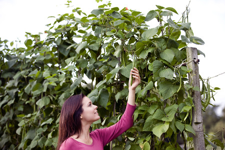 self sufficient: A young woman picking runner beans on an allotment