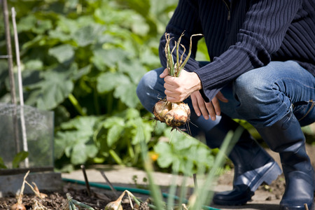 self sufficient: A young man pulling up onions on an allotment
