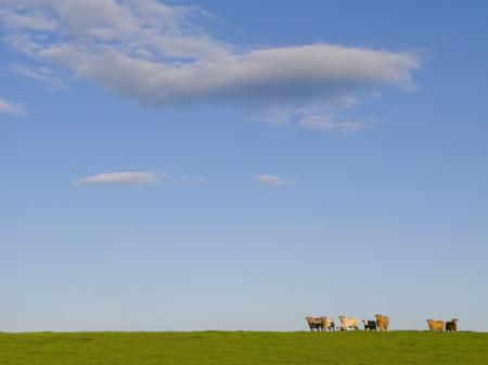 Cattle grazing in pasture on livestock farm against blue sky Imagens