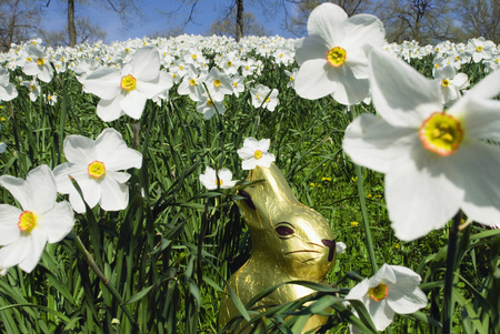 Easter concept with chocolate rabbit in field of spring daffodils