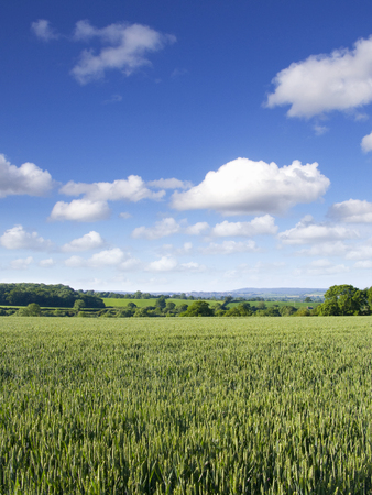 Young wheat crop growing in green farm field under blue summer sky Stock Photo