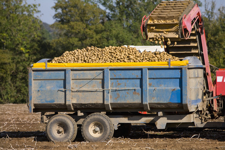 Potato crop being harvested on farm and emptied into trailer
