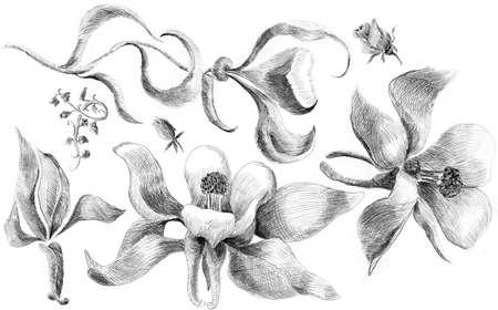 aquilegia: Flower sketch  set hand drawing