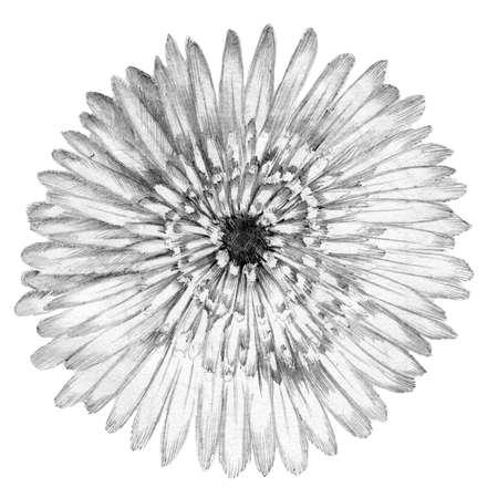 hand illustration: Flower rose sketch  hand drawing. Gerbera detailed illustration
