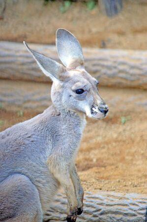 animal pouch: Kangaroo in the zoo