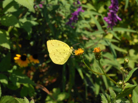 yellow butterfly: Yellow butterfly on the flower Stock Photo