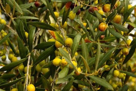 olive tree Stock Photo - 6004137