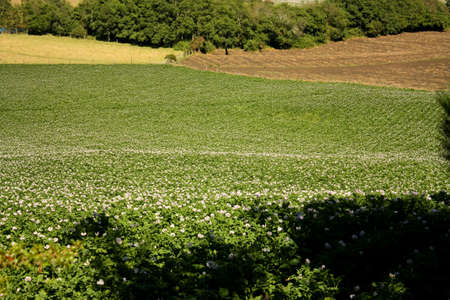 aligning: Fields planted with potatoes in bloom. Andes. Colombia.