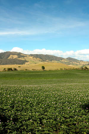 planted: Fields planted with potatoes in bloom. Andes. Colombia.