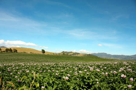 planted: Fields planted with potatoes in bloom. Andes mountains. Colombia. Stock Photo