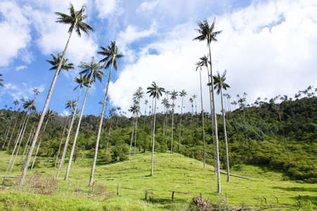 Cocora Valley, one of the most beautiful landscape of Quindio, which is nestled between the mountains of the Cordillera Central of Andes in Colombia. Predominates in the majestic surroundings of Quindio wax palm, Colombias national tree growing to 60 met photo