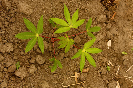 cassava: Cassava plant in the Colombian Andes. Cassava (Manihot esculenta), also called yuca or manioc, is a woody shrub  of the Euphorbiaceae (spurge family) native to South America  Stock Photo