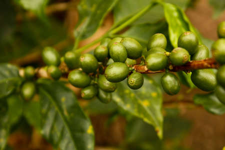 coffee harvest: Coffee beans, maturing. Colombian plantations.