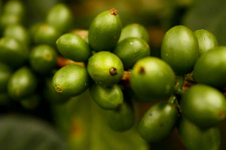 Coffee beans, maturing. Colombian plantations. photo