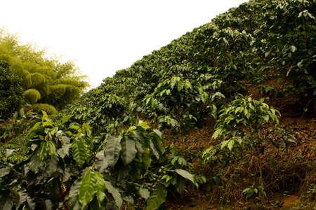 Los campos y las plantaciones de café en los Andes colombianos.