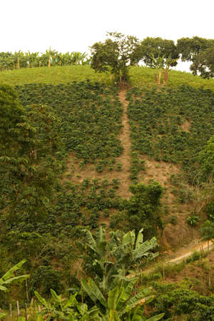 ourdoor: Fields and coffee plantations in the Colombian Andes.