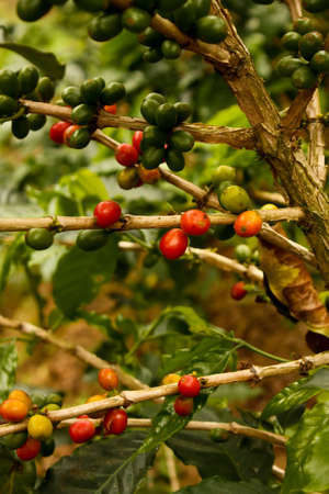 Coffee plants to mature. Colombia Stock Photo - 6696827