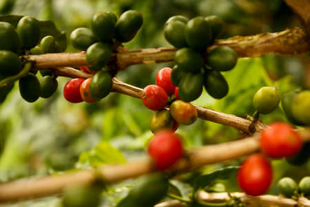 Coffee plants to mature. Colombia Stock Photo - 6696648