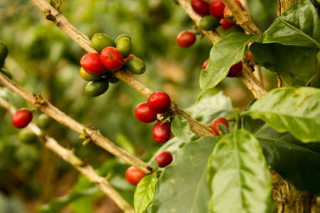 Coffee plants to mature. Colombia Stock Photo - 6696767