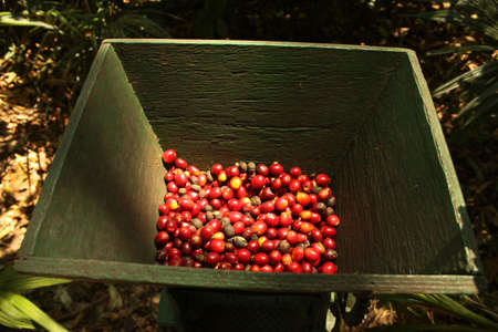 cafe colombiano: M�quina tradicional para quitar la peil de caf� org�nico.  Foto de archivo