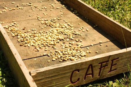 cafe colombiano: Sistema tradicional de secado de caf� en el sol. Caf� colombiano verde