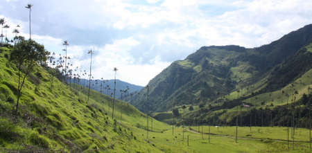 nestled: Cocora Valley, one of the most beautiful landscape of Quindio, which is nestled between the mountains of the Cordillera Central in Colombia. Predominates in the majestic surroundings of Quindio wax palm, Colombias national tree growing to 60 meters. Coco
