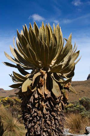 powszechnie: Espeletia, znany jako Frailejon lub Fraylejon – rodzaj subshrubs wieloletnich, należący do rodziny astrowatych. Rodzaj, która jest endemiczny głównie do Kolumbii, Wenezueli i Ekwadorze,