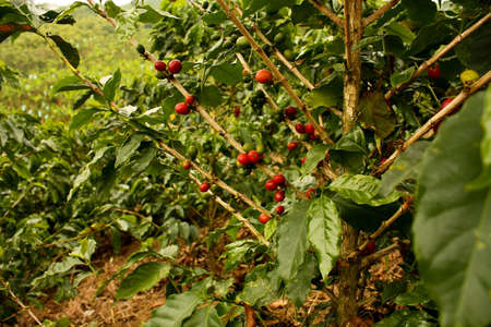 Coffee plants to mature. Colombia Stock Photo - 7389895