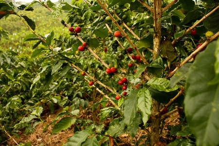 cafe colombiano: Plantas de caf� para madurar. Colombia