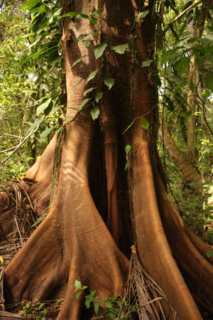 the biosphere: Trunk of a majestic ceiba, tropical tree, Tayrona National Park, Sierra de Santa Marta. Colombia