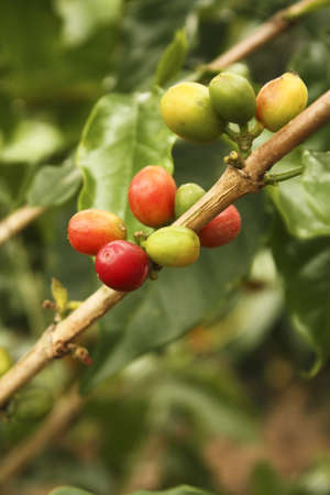 ourdoor: Red colombian coffee bean. Industrial plantation agriculture in Montenegro, Department of Quindio, Colombia Coffee Growing.