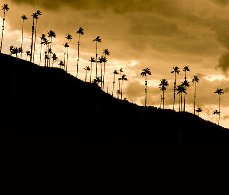 colombia: Cocora Valley, one of the most beautiful landscape of Quindio, which is nestled between the mountains of the Cordillera Central in Colombia. Predominates in the majestic surroundings of Quindio wax palm, Colombias national tree growing to 60 meters. Coco
